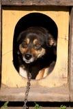 Gebonden aan ketting kijkt een hond uit van cabine Stock Foto's