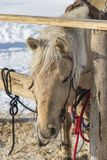 Gebonden Lichtbruin paard met de houten omheining Stock Foto