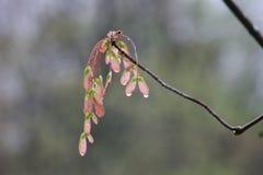 Geboorte van een esdoornboom Stock Fotografie