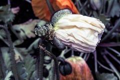 Geboorte van een Papaver Stock Afbeelding