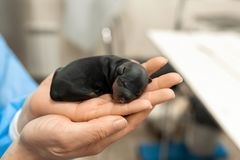 Geboren enkel puppy in het huisdierenziekenhuis Het concept van de huisdierengezondheidszorg stock foto