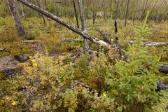 Gebrand boreaal bos stock foto's