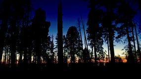 Gebrand onderaan Sequoiabos bij Zonsondergang Royalty-vrije Stock Foto's