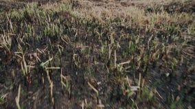 Gebrand riet op het meer De de lentetijd? nam bladeren, natuurlijke achtergrond toe Langzame Motie stock video