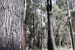 Gebrand, verkoold, bushfire boomboomstam in voorgrond met uit nadrukbomen op achtergrond royalty-vrije stock fotografie