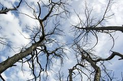 Gebrande bomen na brand Royalty-vrije Stock Afbeeldingen