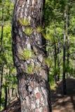 Gebrande boomschors en nieuwe groene hernieuwde groei na een bosbrand de Boompinus van de Canarische Eilandenpijnboom canariensis stock foto
