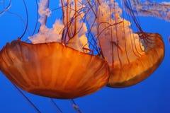 Gebrande oranje en witte Jelly Fish Stock Fotografie