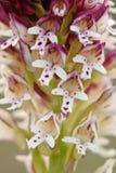 Gebrande orchidee/ustulata van merk-Knabenkraut/Neotinea- Stock Fotografie