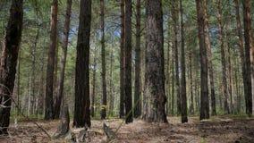 Gebrande pijnbomen in het bos stock footage