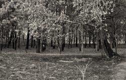 Gebrande pijnboom Stock Fotografie