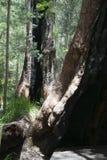 Gebrande uitgeholde boomboomstammen in het oude rode tintelingsbos stock afbeeldingen