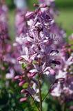 Gebrande violette bloem stock foto