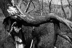 Gebrannte Bäume Lizenzfreie Stockbilder