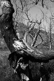 Gebrannte Bäume Stockfotografie