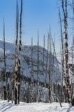 Gebrannte Bäume der weißen Pappel im Schnee lizenzfreie stockfotografie