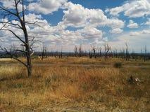 Gebrannte Bäume, die nach Waldbrand wieder herstellen Lizenzfreie Stockbilder
