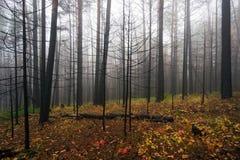 Gebrannte Bäume im Herbstwald Stockbilder