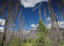 Gebrannte Bäume im Holz im Banff-Nationalpark Kanada stockfotos