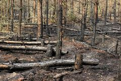 Gebrannte Bäume im Wald Stockbild