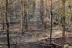 Gebrannte Bäume im Wald Lizenzfreie Stockbilder