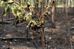 Gebrannte Bäume im Wald Stockfoto