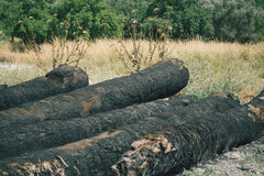 Gebrannte Bäume nach Waldbrand Lizenzfreie Stockfotografie