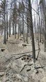 Gebrannte Bäume und Asche Stockfotos