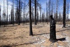 Gebrannte Bäume - Waldbrand Lizenzfreie Stockfotos