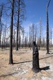 Gebrannte Bäume - Waldbrand Stockbild