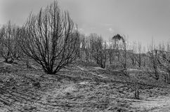 Gebrannter Abhang von Bäumen BW Stockfotografie