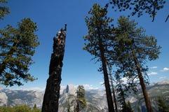 Gebrannter Baum Yosemite Stockfoto