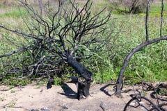 Gebrannter Baum - zerstört durch Blitz Stockbilder