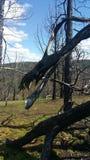 Gebrannter Forest Dragon Lizenzfreies Stockfoto