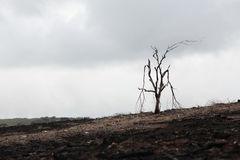 Gebrannter toter Baum Stockfoto