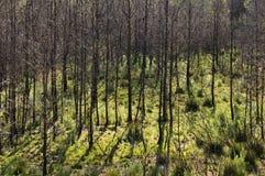 Gebrannter Wald Lizenzfreies Stockfoto