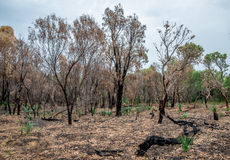 Gebrannter Wald bleibt nach Bushfire in Nationalpark Yanchep stockbild