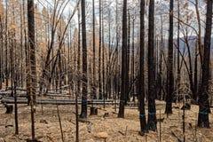 Gebrannter Wald in Yosemite Nationalpark Stockbilder