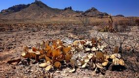 Gebrannter Wüsten-Kaktus und Landschaft nach Feuer Lizenzfreie Stockbilder