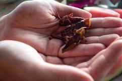 Gebratene Heuschrecken gehalten in den offenen Händen Stockfoto