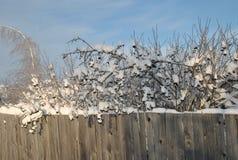 Gebrechlicher alter Bretterzaun und Niederlassungen der schwarzen Eberesche umfasst mit Schnee Stockbild