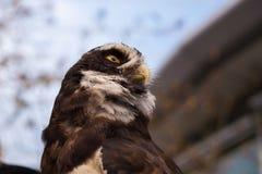 Gebrild Owl Profile Low Angle Horizontal Royalty-vrije Stock Afbeeldingen