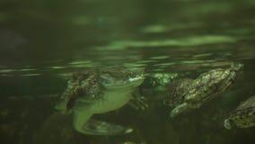 Gebrilde die crocodilus van de kaaimankaaiman, ook als witte kaaiman of gemeenschappelijke de lengtevideo van de kaaimanvoorraad  stock footage