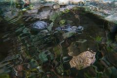 Gebrilde kaaiman door de rivier stock foto's