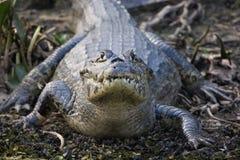Gebrilde kaaiman, Pantanal Stock Afbeelding