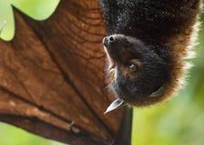 Gebrilde Vleerhond Royalty-vrije Stock Afbeelding