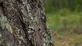 Gebrochene Barke eines mächtigen Baums stock footage
