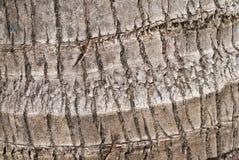 Gebrochene Barke von alten tropischen Kokosnussbäumen Stockfoto
