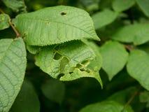Gebrochenes krankes grünes Blatt des Baums Lizenzfreie Stockfotografie