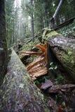 Gebroken boom in het bos Royalty-vrije Stock Fotografie